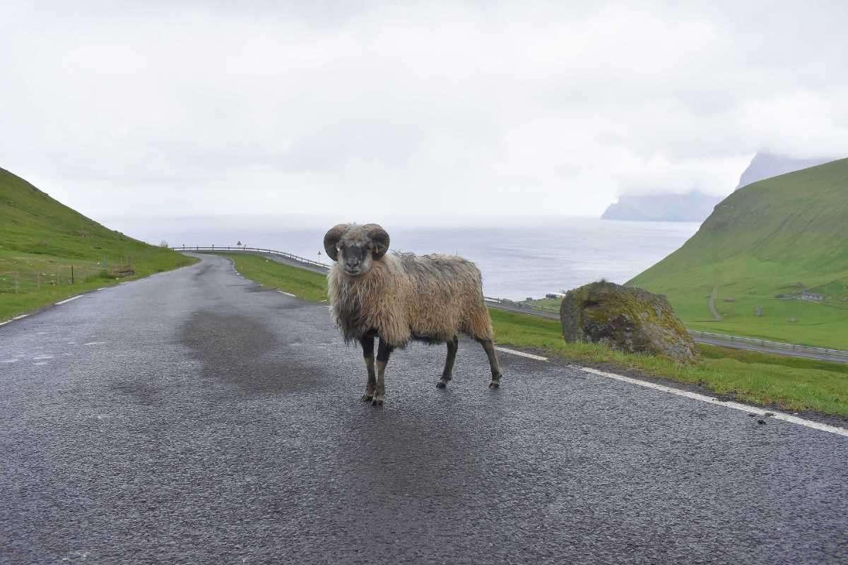 Isole Faroe Pecora