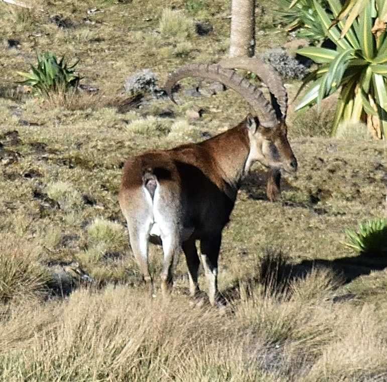Monti Simien Walia Ibex