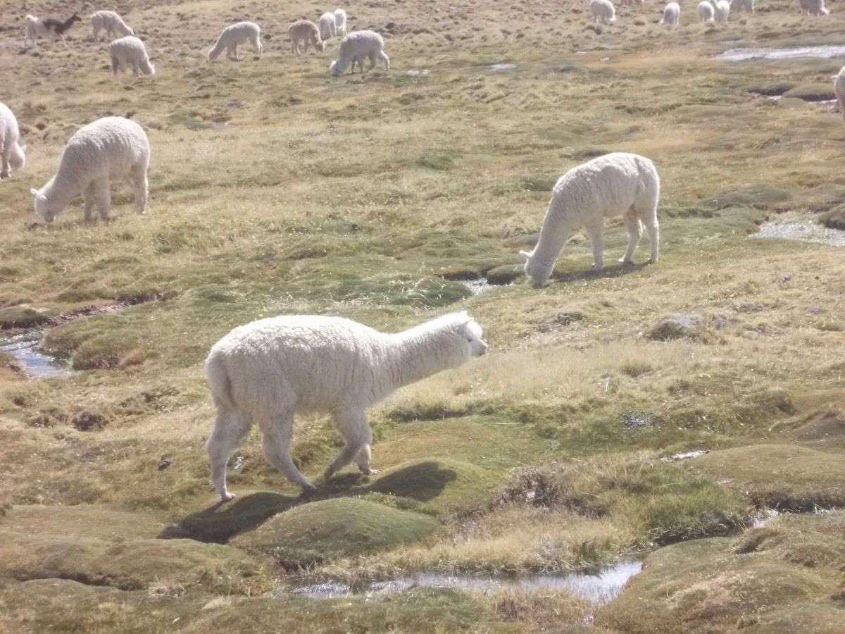 Viaggio in Peru alpaca