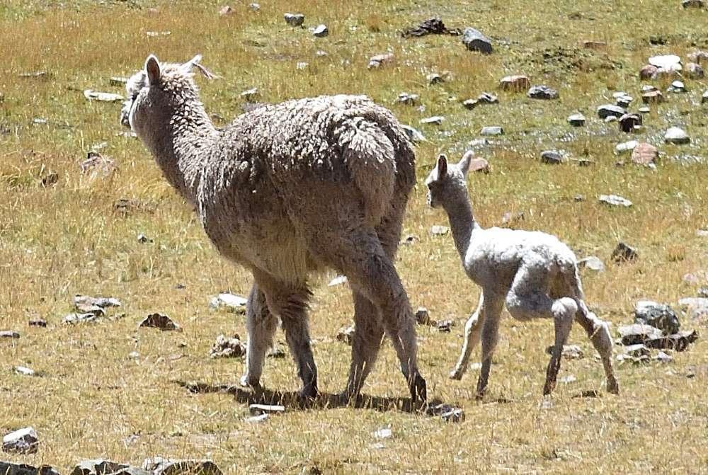 Alpaca e piccolo alpaca