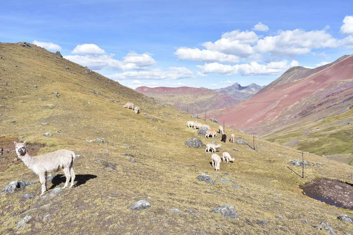 Alpaca e valle