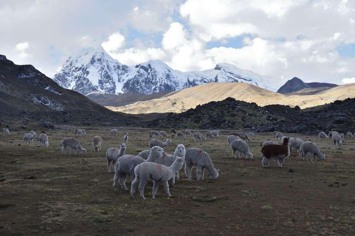 Alpaca ed Ausangate