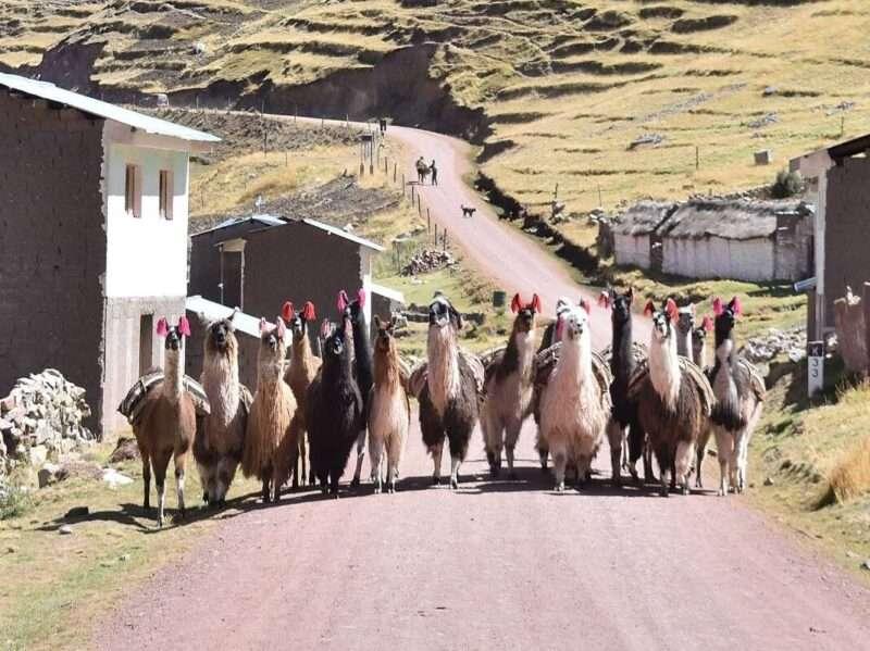 Lama nel tour dell'Ausangate