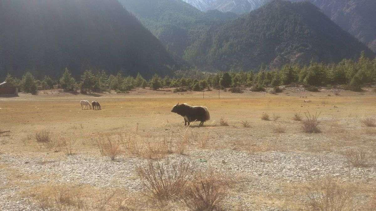 Primo yak