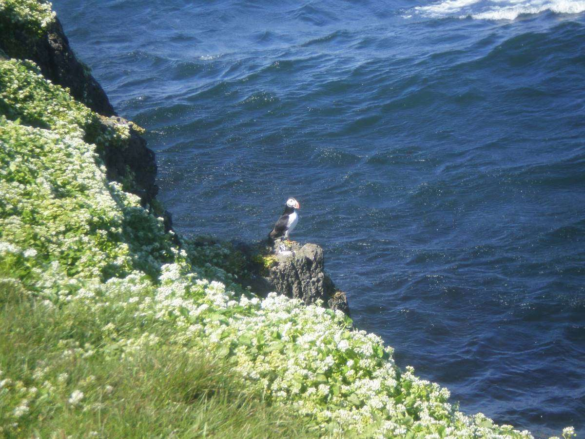 Puffin a Grimsey