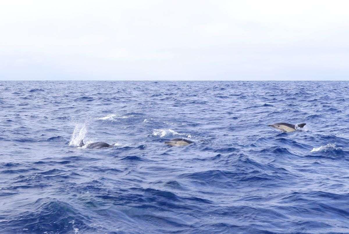 Viaggio alle Azzorre delfini